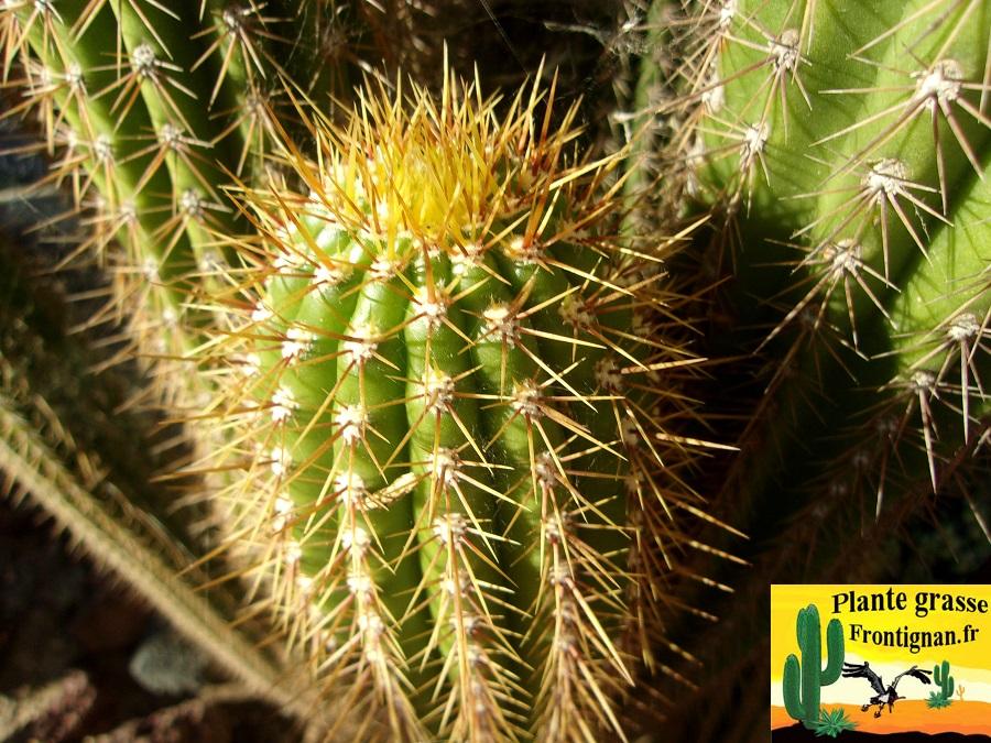 Cactus cierges mediterraneens rustiques for Plante grasse exterieur rustique